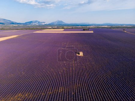 Photo for Aerial view of lonely farm on beautiful blooming lavender field in provence, france - Royalty Free Image