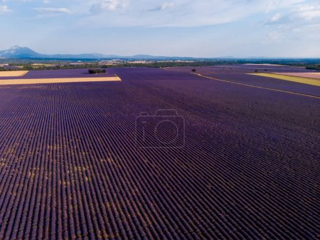 Photo for Aerial view of beautiful blooming lavender field and mountains in provence, france - Royalty Free Image
