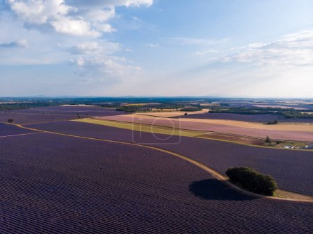 aerial view of beautiful lavender field, trees and rural road in provence, france