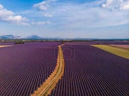 Foto de Camino rural a través de hermoso campo de lavanda cultivada, provence, francia - Imagen libre de derechos