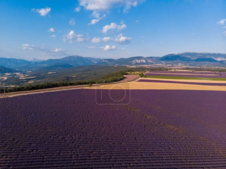 aerial view of beautiful cultivated lavender field and mountains in provence, france
