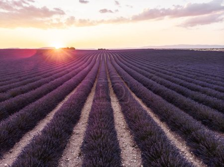 Photo for Tranquil scene with beautiful lavender field at sunset, provence, france - Royalty Free Image