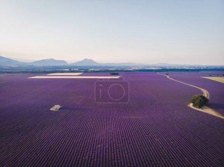 Foto de Vista aérea del hermoso campo de lavanda cultivada y montañas en provence, Francia - Imagen libre de derechos