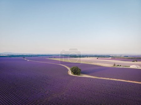 aerial view of beautiful cultivated lavender field in provence, france
