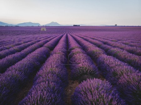 Photo for Picturesque landscape with blooming purple lavender flowers in provence, france - Royalty Free Image