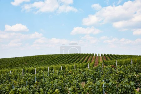 Photo for Green rows of plants on vineyard and blue cloudy sky in Zajeci, Czech Republic - Royalty Free Image