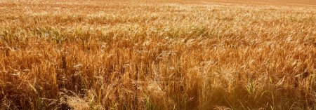 Photo for Panoramic view of agricultural field with harvest in Bad Schandau, Germany - Royalty Free Image