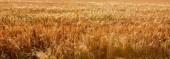 """Постер, картина, фотообои """"Пшеница"""""""