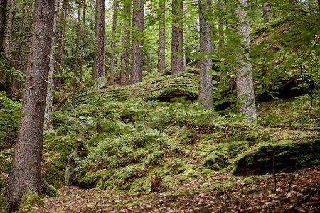 Photo pour Arbres verts sur la colline dans la belle forêt Bastei, Allemagne - image libre de droit