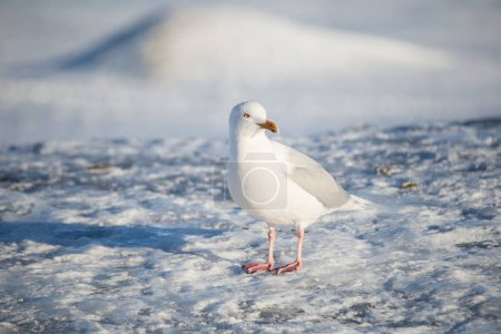 Photo pour Mouette debout sur la surface de la glace - image libre de droit
