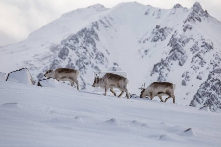 Photo for Flock of reindeers in its natural snowy arctic habitat - Royalty Free Image