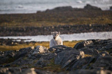 Photo pour Photo d'un mignon bébé renne moelleux dans le paysage de la toundra arctique - image libre de droit