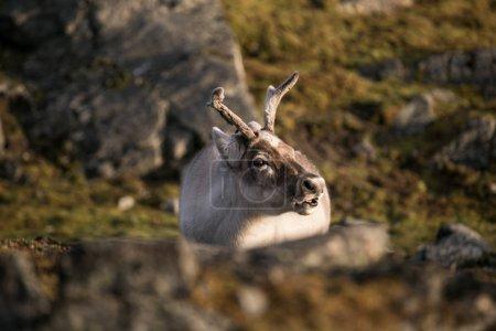 Photo pour Photo de beaux rennes pelucheux dans les paysages arctiques - image libre de droit