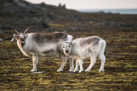 Photo for Photo of beautiful fluffy reindeers in arctic landscapes - Royalty Free Image