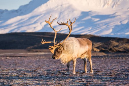 Photo for Photo of beautiful fluffy reindeer with horns in arctic landscapes - Royalty Free Image
