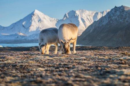 Photo pour Troupeau de rennes dans son habitat arctique enneigé naturel - image libre de droit