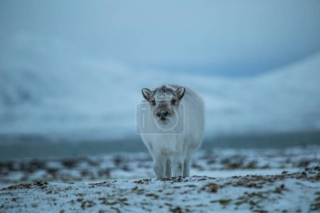 Photo for Photo of a cute baby fluffy reindeer in arctic tundra landscape - Royalty Free Image