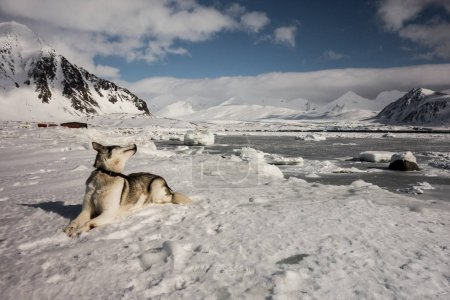 Photo for View of husky laying on the snow surface and looking back - Royalty Free Image