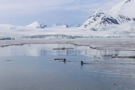 Photo pour Deux oiseaux nagent dans l'eau avec un paysage enneigé derrière eux - image libre de droit