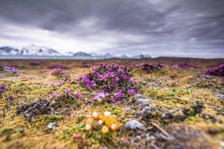 Photo pour Petites fleurs roses poussant dans le sud du Spitzberg - image libre de droit