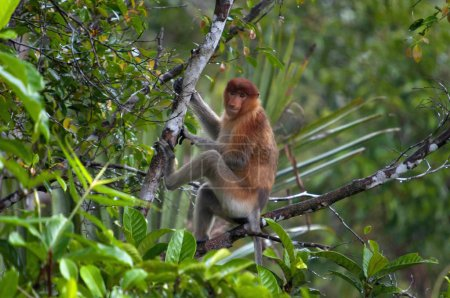 The proboscis monkey or Nasalis larvatus or long-nosed monkey, Indonesia. It is known as the bekantan in Indonesia, is a reddish-brown arboreal Old World monkey that is endemic to the southeast Asia