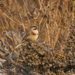 White-capped or Chestnut-breasted bunting, Emberiz...