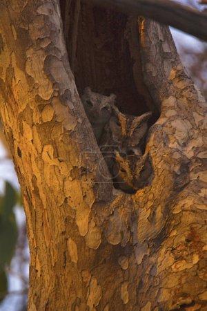 Indian Scops Owl, Otus bakkamoena from Tipeshwar Wildlife Sanctuary of Maharashtra, India