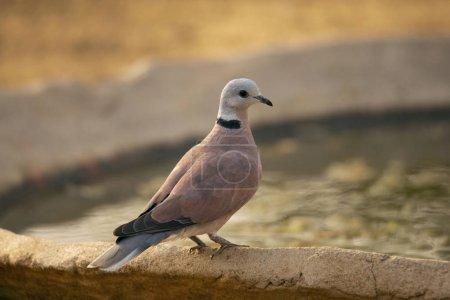 Red Turtle Dove,  Streptopelia tranquebarica, Jhal...
