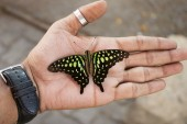 Tailed Jay or Green-spotted Triangle Butterfly, Graphium agamemnon sitting on hand, India.