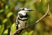 Pied Kingfisher, Ceryle rudis, Ranganathittu Bird Sanctuary, Karnataka, India.