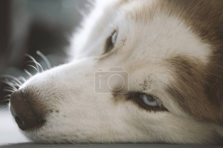 Husky lies on the floor and looks away. Close-up P...