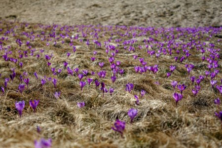 front view of field with dry grass and spring crocuses in Romania