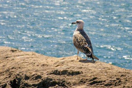 Photo pour Moindre Goéland marin (Larus fuscus) debout sur un rocher avec la mer en arrière-plan, sur une belle journée ensoleillée. - image libre de droit