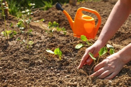 Photo for Detail on young woman hands planting small seedling into ground with orange sprinkling can in background. Spring gardening. - Royalty Free Image
