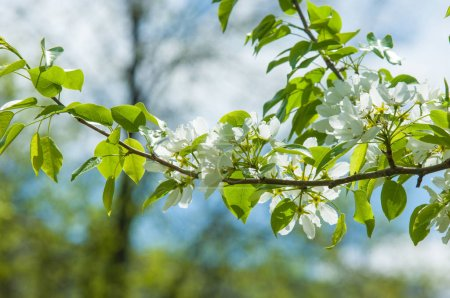 Photo for Spring landscape, Apple tree flowers. Beautiful spring blooming tree, gentle white flowers, fresh cherry blossom border on green soft focus background, spring time nature - Royalty Free Image