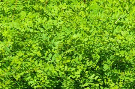 Texture, fond, motif. Hedge. une clôture ou une limite formée par des buissons ou des arbustes à croissance étroite. Mur de feuilles vert naturel, boîte à haies verte