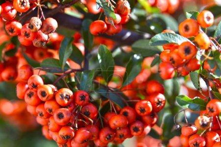 Photo pour Branche rowan rouge avec des feuilles vertes dans le jardin - image libre de droit