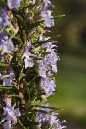 Fresh leaves and flowers of Rosmarinus officinalis