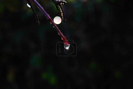 Close-up of a single drop illuminated at the end of a red branches after rain