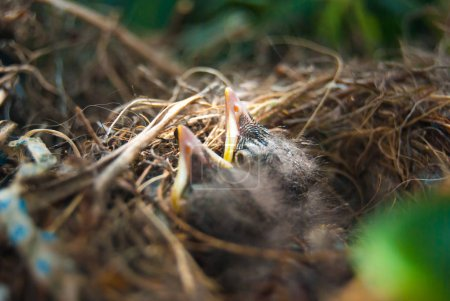 Newborn birds waiting for food brought by mum...