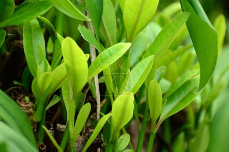Photo pour Feuilles d'un vert luxuriant en plein soleil - image libre de droit