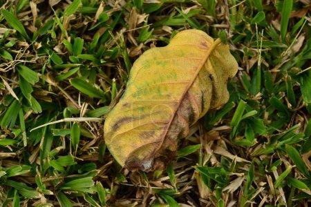 Photo pour Feuille jaune couchée sur l'herbe - image libre de droit