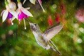 This is a photograph of a hummingbird visits fuchsia in raining day