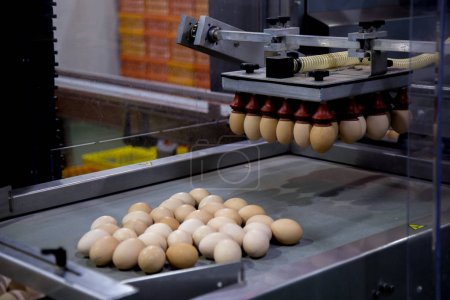 lot of eggs on tray, Egg business & Layer process. Egg Factory Industry with high technology by unless worker with good quality on selection process