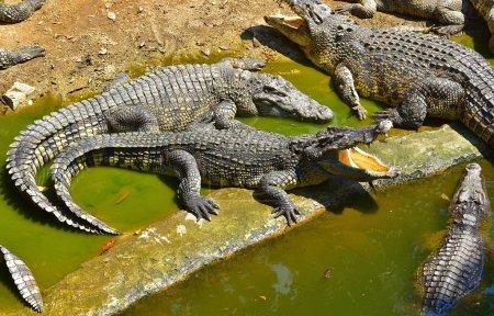 Crocodiles taking sunbath in the Crocodile Farm, Thailand 2018