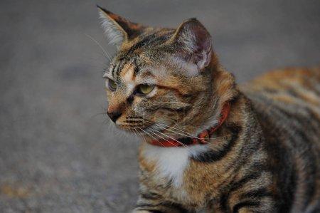 brown tabby domestic shorthair cat