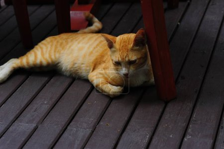 red tabby domestic shorthair cat