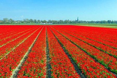 Photo pour Aérien des champs de tulipes en fleurs près de Lisse aux Pays-Bas - image libre de droit