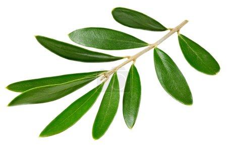 Photo pour Vert olive laisse isolé sur fond blanc. Olive laisse Clipping Path - image libre de droit