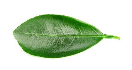 Foto de Fruta cítricas hojas aisladas sobre un fondo blanco. Hojas de ruta de recorte - Imagen libre de derechos